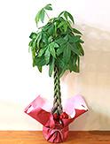 開店祝い・開業祝い編み込んだ樹形が人気のパキラ M