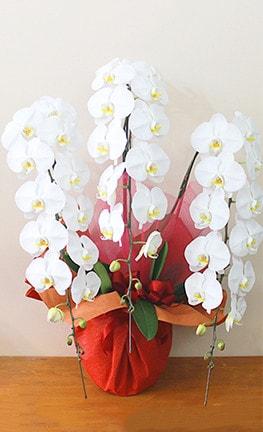 開店祝い・開業祝いの白い胡蝶蘭