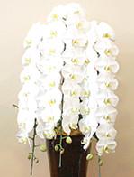 開店祝い・開業祝いのインパクトのある胡蝶蘭