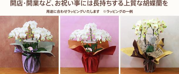 開店・開業など、お祝い事には長持ちする上質な胡蝶蘭を
