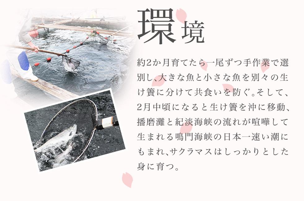 環境 約2か月育てたら一尾ずつ手作業で選別し、大きな魚と小さな魚を別々の生け簀に分けて共食いを防ぐ。 そして、2月中旬になると生け簀を沖に移動、播磨灘と紀淡海峡の流れが喧嘩して生まれる鳴門海峡の日本一速い潮にもまれ、サクラマスはしっかりとした身に育つ。