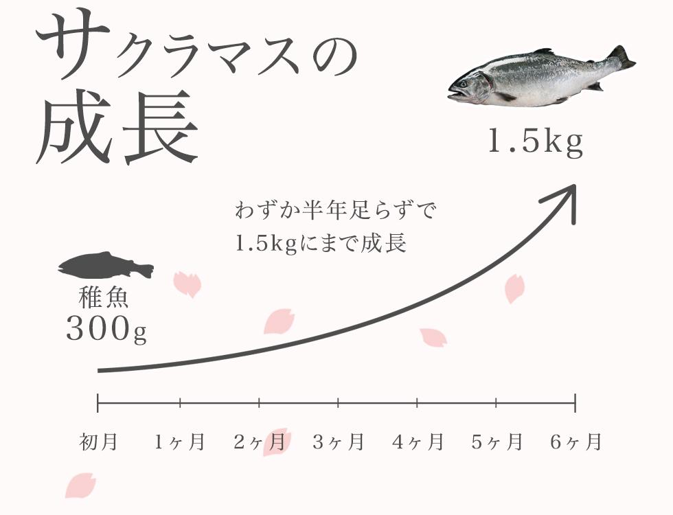 サクラマスの成長 わずか半年足らずで1.5kgにまで成長