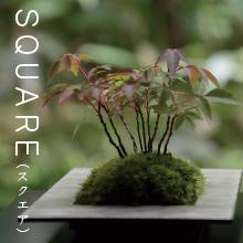 SQUARE,ちょこぼん,ミニ盆栽,盆栽,おしゃれ,インテリア,雑貨.観葉植物,通販,販売,和,植物,苔,苔玉