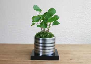 ミニ盆栽ちょこぼん「TAKUMI(タクミ) 小」,ハマボウ