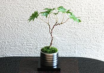 ミニ盆栽ちょこぼん「TAKUMI(タクミ) 小」,楓,かえで,カエデ