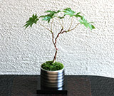 ミニ盆栽ちょこぼん「TAKUMI(タクミ) 小」