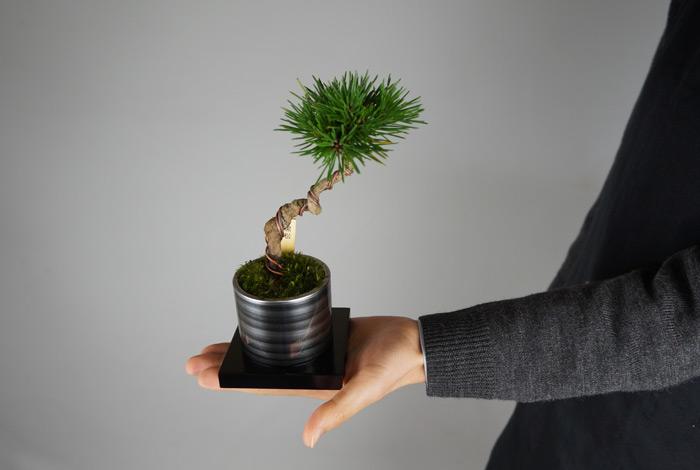 ミニ盆栽ちょこぼん「TAKUMI(タクミ) 小」手のりサイズ