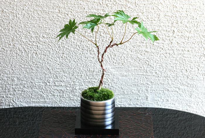 ミニ盆栽ちょこぼん「TAKUMI(タクミ) 小」,かえで,楓,葉うちわ楓