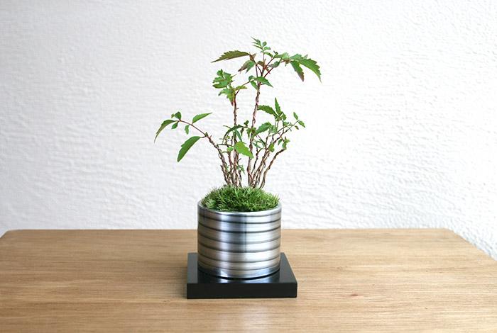 ミニ盆栽ちょこぼん「TAKUMI(タクミ) 小」,ハゼ,敬老の日