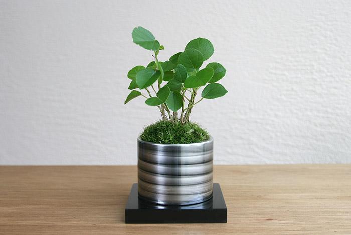 ミニ盆栽ちょこぼん「TAKUMI(タクミ) 小」,ハマボウ,敬老の日