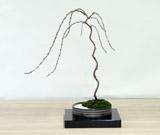 ミニ盆栽ちょこぼんWATOWA(ワトワ)枝垂れ桜