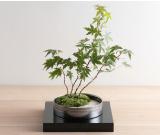 ミニ盆栽ちょこぼんWATOWA(ワトワ)紅葉(もみじ)