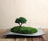 インテリア,ミニ,盆栽,ミニ盆栽,ちょこぼん,WAVE,ウェーブ,連山檜,レンザンヒノキ,ヒノキ,檜
