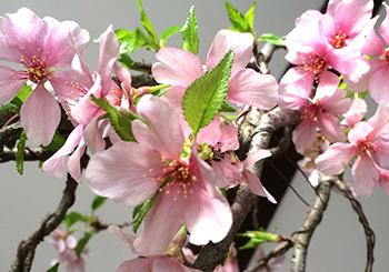 ミニ盆栽ちょこぼんTSUBONIWA(ツボニワ),sakura,桜,しだれ桜,エドヒガン,盆栽,ミニ盆栽,サクラ,さくら,通販,販売,開花の様子