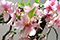 ミニ盆栽ちょこぼんWATOWA(ワトワ)枝垂れ桜,枝垂れ桜,しだれ桜,桜,さくら,盆栽