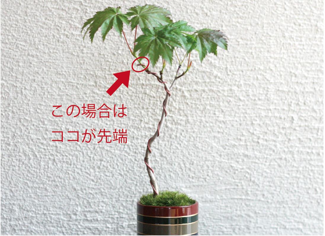 ,金掛,ちょこぼん,ミニ盆栽