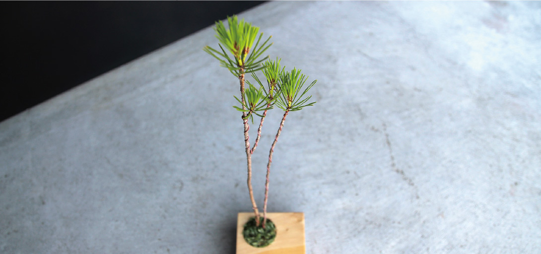 ハマボウ,ちょこぼん,ミニ盆栽