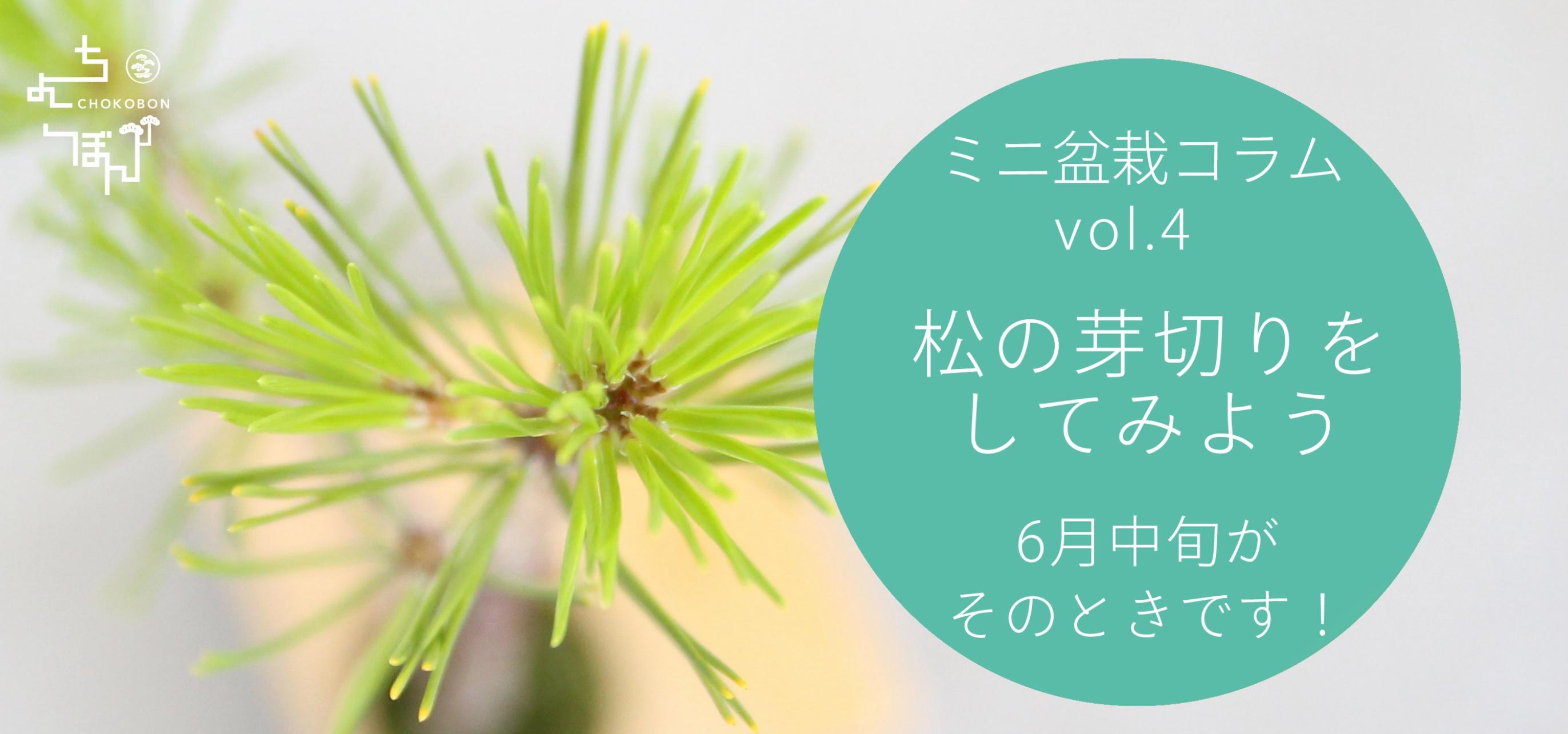 松,ちょこぼん,ミニ盆栽