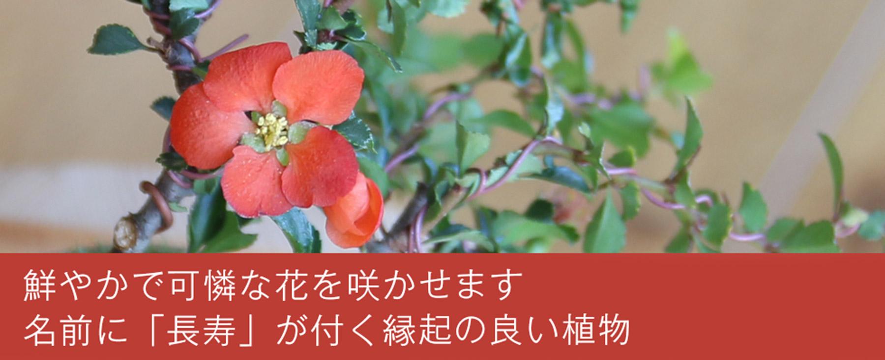 長寿梅の写真,鮮やかで可憐な花を咲かせます,名前に「長寿」が付く縁起のいい植物