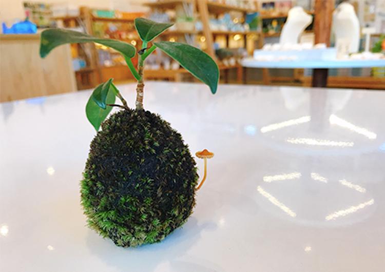 苔玉植え替えレポ