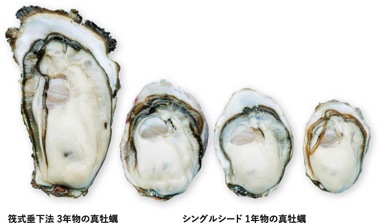 筏式垂下法 3年物の真牡蠣とシングルシード1年物の真牡蠣