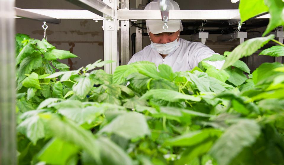 世界でただひとつ。桑の植物工場から。