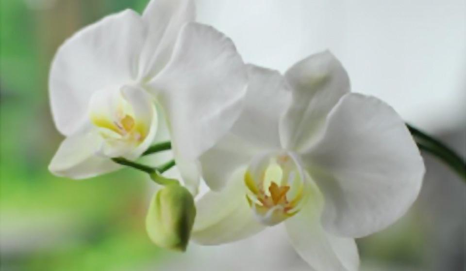 阿里山の胡蝶蘭