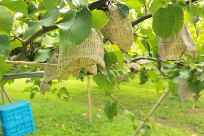袋掛けされた木成りの梨の画像