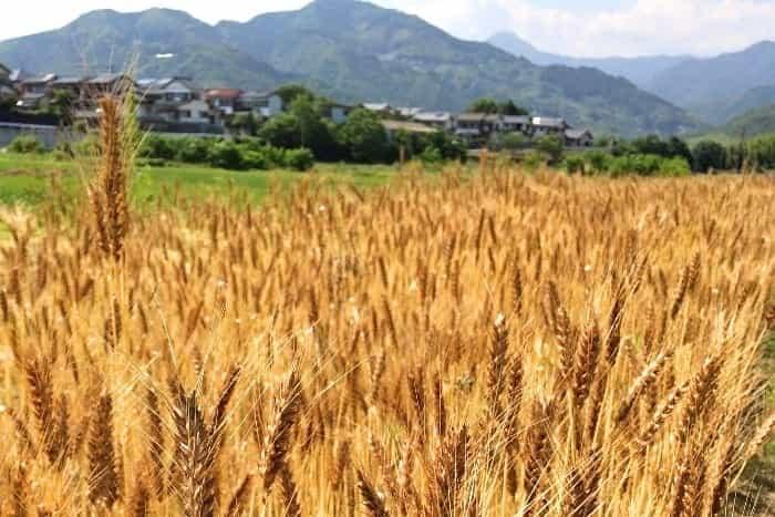小麦畑の画像