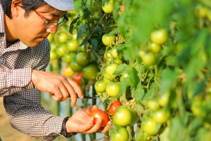 トマトを収穫する中村さんの画像