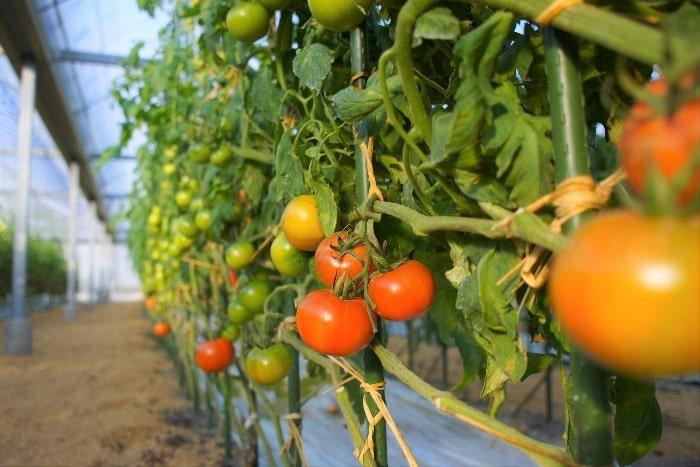 ツルになるトマトの画像