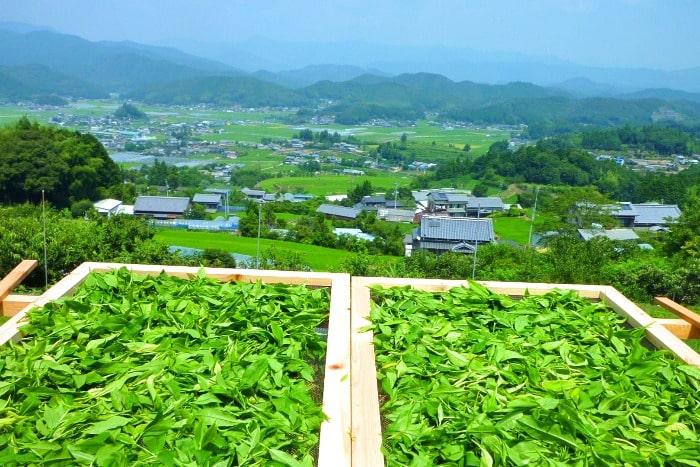 茶葉を天日で乾燥させている画像