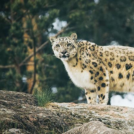 フェアトレードグッズで扱った絶滅危惧種の動物ユキヒョウ