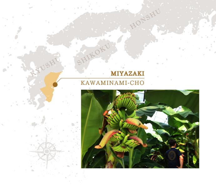 宮崎県川南町で特別に育成されたバナナ