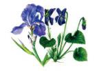 キアンティの花