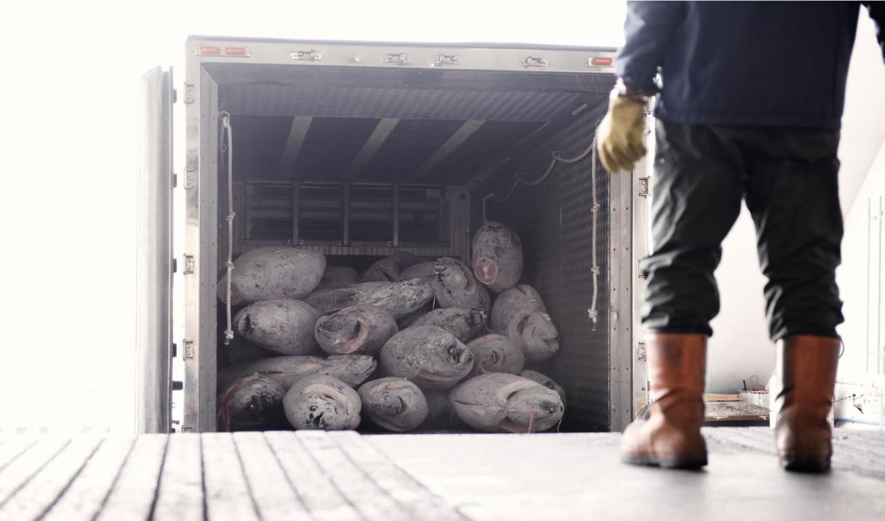 冷凍車に積まれている冷凍まぐろと荷受け人の背中