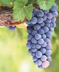 赤ワインのブドウ品種 ピノノワール Pinot Noir