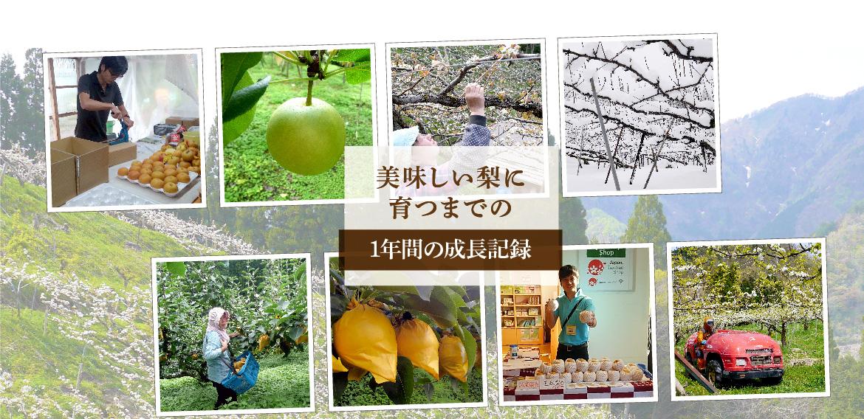 美味しい梨に育つまでの1年間の成長記録