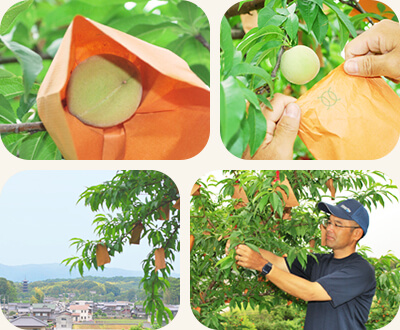 木全体に美味しい桃が実るように、一つずつ向き合う