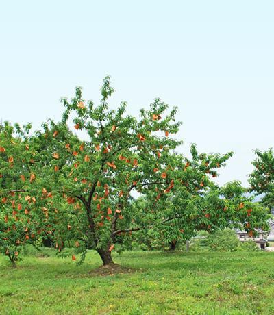 冬まで高品質で信頼できる桃を届けるために